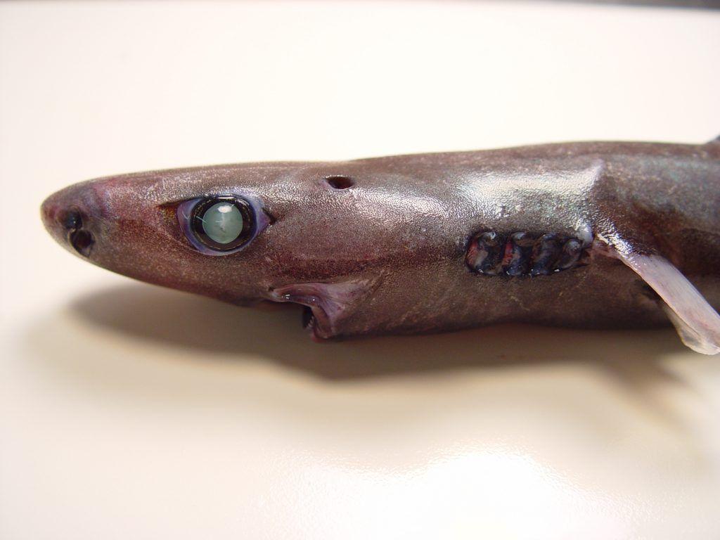 Incontra lo squalo lanterna ninja: uno squalo dall'aspetto strano che brilla al buio