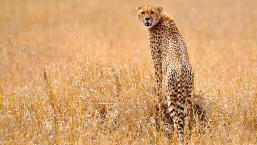 Gepardid vs Aafrika metsikud koerad