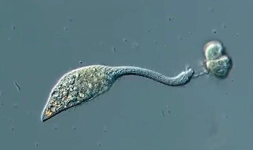 Un vizioso organismo unicellulare attacca un altro organismo microscopico [VIDEO]