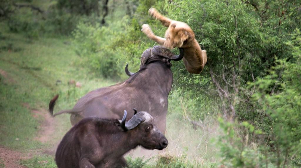 Lõvi lasi õhku vapper Buffalo